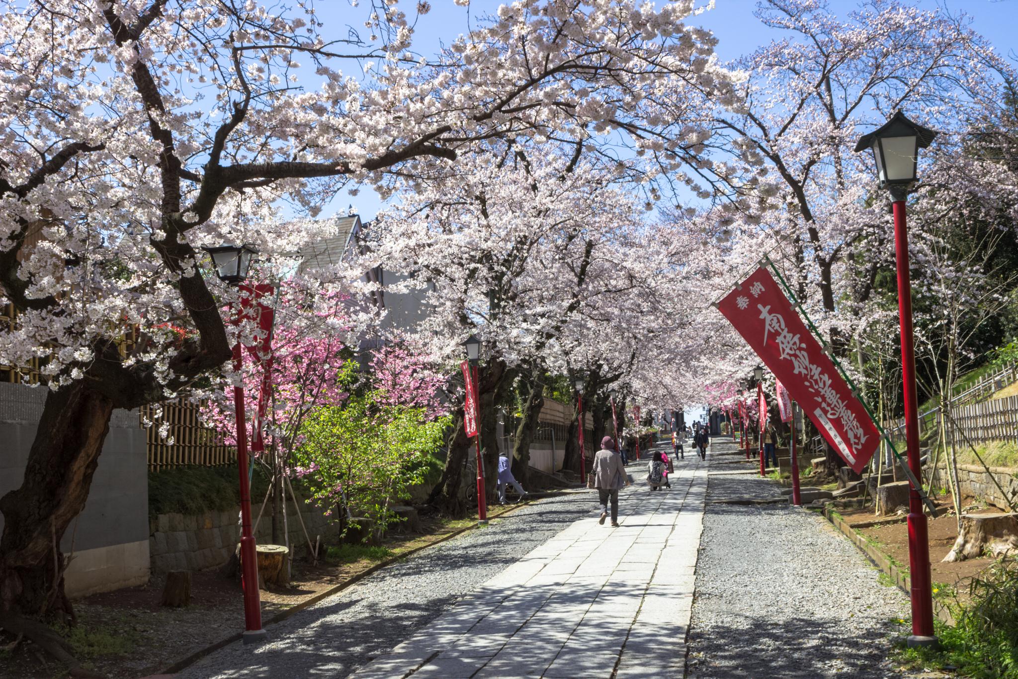 市川市内のお花見スポット3選!